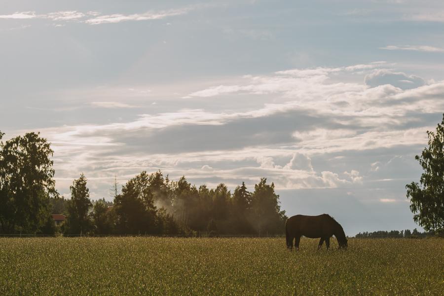 Häst p bete i solnedgngen Madeleine Mattias